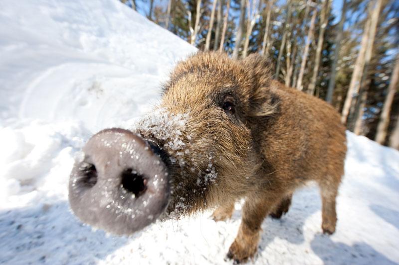 Wildschwein Winter